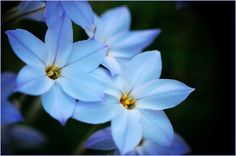 Delicate 'Spring Starflower' (Ipheion uniflorum), photograph courtesy of the very talented Takako on flickr.