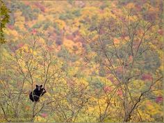 Black Bear in a tree.. Cade's Cove, Smoky Mountains Park, Sevierville, Tennessee