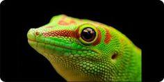 Madagascar Day Gecko (Pheisuma madagascariensis), photo by nakkimo Geckos, Terrarium, Lizard Dragon, Chameleon Lizard, Animal Sketches, Reptiles And Amphibians, Exotic Pets, Animal Photography, Portrait Photography