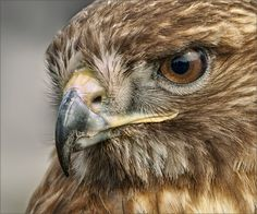 """Red-tailed Hawk 