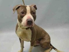 GRIFFIN – A1078047 MALE, BROWN / WHITE, AM PIT BULL TER MIX, 3 yrs STRAY – STRAY WAIT, NO HOLD Reason STRAY Intake condition EXAM REQ Intake Date 06/19/2016, From NY 11233, DueOut Date 06/22/2016,
