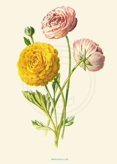 Ranunculus Vintage Botanical Illustration