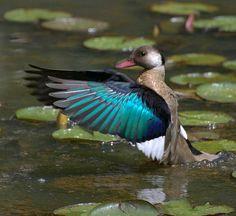 Brazilian tealorBrazilian duck(Amazonetta brasiliensis