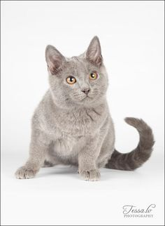 Chartreux Cat Breed Information, Pictures, Characteristics & Facts