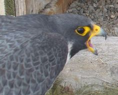 I got this covered, stay out as long as you want! DC in and Beauty out! #ROC #peregrine #falcon pic.twitter.com/mz6C7VGgH9