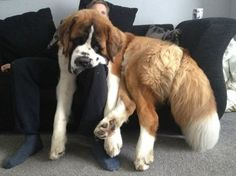 The #St.Bernard is gentle with children and known to be quite sensitive. Beethoven, anyone?