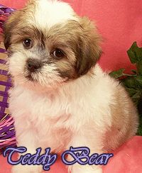 shorkie grooming styles pictures | http://www.pic2fly.com ...