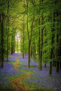 Bluebell Cathedral, Ashridge, Hertfordshire, England