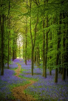 Bluebell Cathedral, Ashridge, England