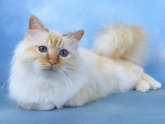 The Birman Cat  Flame point, or cream point, some say red point.