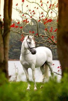 Pretty white horse by the river. Such pretty scenery between the trees with red leaves, or maybe it is flowers.