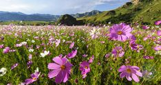South Africa has a fabulous array of indigenous flowers that enhances the country's natural beauty and diversity. One of South Africa's marvels is its incredible diversity of plant and flower species