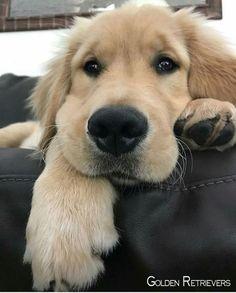 Dog Grooming Golden Retriever those cheeks.Dog Grooming Golden Retriever those cheeks. Cute Baby Animals, Animals And Pets, Funny Animals, Cute Dogs And Puppies, I Love Dogs, Doggies, Puppies Puppies, Dogs Tumblr, Chien Golden Retriever