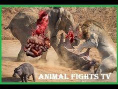 Animal Attack Compilation - CRAZIEST Animals Attack Caught On Camera