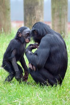 Bonobo and mother infant