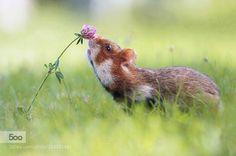 hamster by AmlAlAnsary. Please Like http://fb.me/go4photos and Follow @go4fotos Thank You. :-)