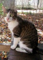 Benjamin is an adoptable Tabby - White Cat in Norris City, IL. Benjamin is a friendly handsome fellow with gorgeous green eyes. His owner is no longer able to keep him though. He has a natural bob tai...
