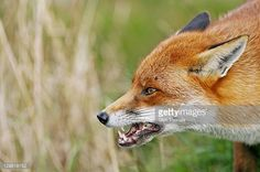 Image result for fox snarling