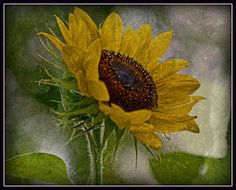 Triumphant Sunflower