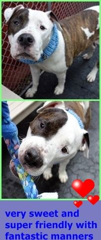 RETURN 10/24/16 STRAY --- SAFE RTO 8-13-2016 --- RETURN 08/11/16 STRAY --- SAFE RTO  7/21/16 --- RETURN 07/11/16 STRAY --- RTO 04/07/16 --- SUPER URGENT Manhattan Center KING – A0780879  **RETURNED 04/01/16  NEUTERED MALE, WHITE / BR BRINDLE, AMER BULLDOG / AM PIT BULL TER, 10 yrs STRAY – ONHOLDHERE, HOLD FOR ID Reason STRAY Intake Date 04/01/2016 http://nycdogs.urgentpodr.org/king-a0780879/