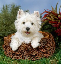 W is for West Highland White Terrier
