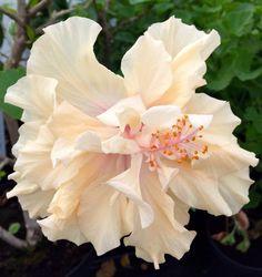 Hibiscus rosa sinensis 'Mrs Andreasson'