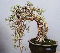 Is this cool or what?!?!?!?!!!! The whole bonsai is made out of a group of vines! They never merge really...I want to do this now!