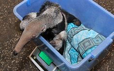 A two-month-old baby anteater has a weigh-in at Zlin Zoo, Czech Republic