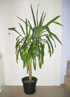 1000 Images About Full Sun Tall Plants On Pinterest Yucca Plant Indoor And Interior Plants