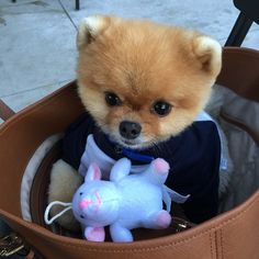 Things we enjoy about the Cute Pomeranian Puppies Discover Inquisitive Pomeranian Cute Baby Animals, Animals And Pets, Funny Animals, Cute Puppies, Cute Dogs, Dogs And Puppies, Cute Animal Pictures, Dog Pictures, Beautiful Cats
