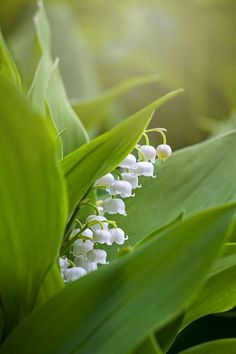 These Are The Flowers That'll Thrive in Your Shady Yard Close-up image of the spring flowering, bell-shaped white flowers of Lily of the valley also known as Convallaria majalis Best Perennials For Shade, Flowers Perennials, Planting Flowers, White Perennial Flowers, Purple Flowering Plants, Shade Garden Plants, House Plants, Garden Planters, Indoor Plants