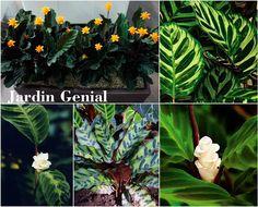 Род Калатея (Calathea) относится  к семейству Марантовые.  В природе растение калатея  произрастает в тропиках  Южной Америки.   Название рода происходит от древнегреческого mlathos  («корзина»): листья и стебли этих  цветов использовали для  плетения корзин.   Листья растения необычайно  красивые: крупные (до 30 см в длину),  овальные или эллиптические,  иногда удлиненные, отрастающие из прикорневой розетки.