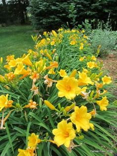 Plant of the day...Fall is a good time to divide daylily plants.