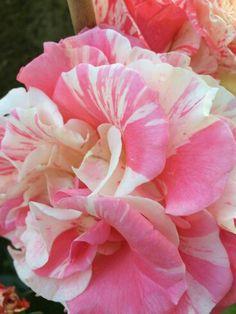 Philatelie rosa