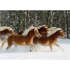 chevaux haflinger dans la neige