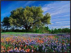 Framed Canvas Print: Live Oak, Paintbrush Framed Art by Adam Jones : 24x32in