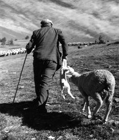 Robert Doisneau. Animaux (la transhumance), L'agneau nouveau né 1958