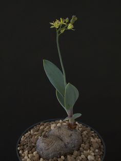 caudex : Bizarre Plants
