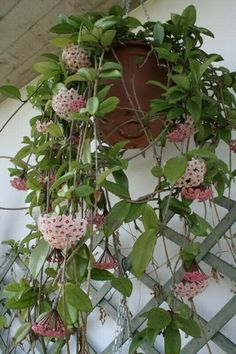 Cutting/plant of Hoya carnosa min 4 knots or 2 branchesUnrooted: 7 euroRooted: 10 euro Planting Succulents, Garden Plants, Indoor Plants, Planting Flowers, Wax Flowers, House Plants Decor, Mother Plant, Plant Cuttings, Garden Pictures