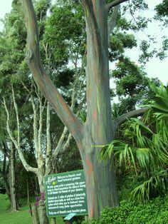 Eucalyptus tree in Hawaiin garden Eucalyptus Tree, Forests, Islands, Ohio, Places To Go, Globe, Hawaii, Trees, Gardens