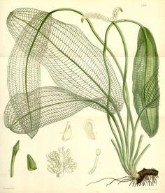 Aponogeton madagascariensis (Mirb.) H. Bruggen [as...