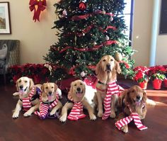 Hope you're getting into the holiday spirit! The dogs at Paws for Purple Hearts certainly are. Dog Photos, Dog Pictures, Cute Pictures, Christmas Puppy, Christmas Animals, Love Pet, I Love Dogs, Pet Dogs, Dogs And Puppies