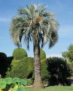 """Butia Capitata (""""Pindo Palm"""")"""