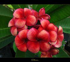 Rare Exotic Flowers | Rare Flowers - The Plumeria Allison | Flickr - Photo Sharing!