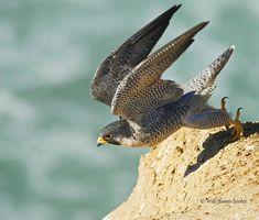 Peregrine Falcon at Torrey Pines | Wild teircel Peregrine Fa… | Flickr