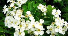 Il biancospino (Crataegus monogyna) è famoso per i suoi fiori, tant'è che spesso viene coltivato a scopo ornamentale, ma lo è altrettanto in campo erboristico per le sue proprietà fitoterapiche. Le proprietà del biancospino vengono utilizzate nel trattamento delle lievi insufficienze cardiache e delle aritmie, delle extrasistoli ventricolari, delle palpitazioni, dell'ipertensione arteriosa lieve, della dispnea cardiaca e delle cardiopatie senili.