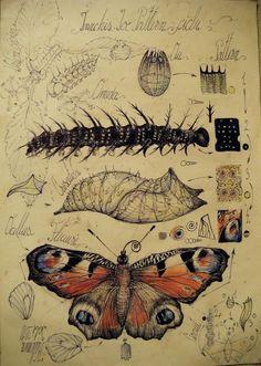 Butterfly Drawing - Butterfly Morphogenesis by Gabriel Kelemen Nature Illustration, Botanical Illustration, Art Journaling, Art Sketches, Art Drawings, Scientific Drawing, Scientific Journal, Butterfly Drawing, Butterfly Metamorphosis
