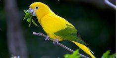 É a ave símbolo do Brasil