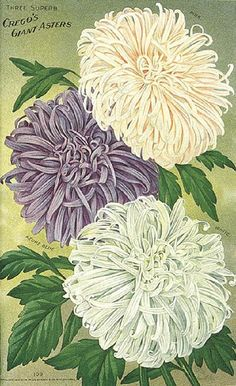 Picture of .Giant Asters from 1915 Burpee's Seed Catalogue.
