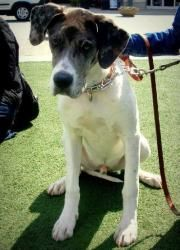 Jasper is an adopted Great Dane Dog in Huntersville, NC. Please contact Great Dane Friends ( greatdanefriend@yahoo.com ) for more information about this pet. Jasper, as him name indicates is a true tr...